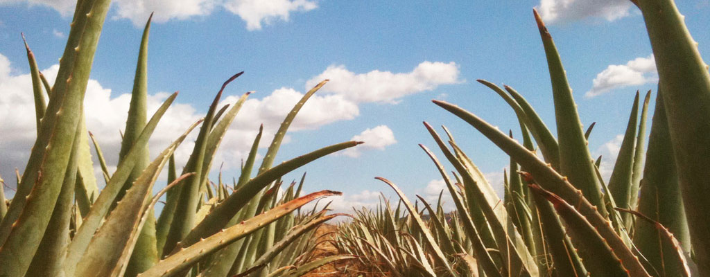 Aloe Vera is one of the best plants for air purification